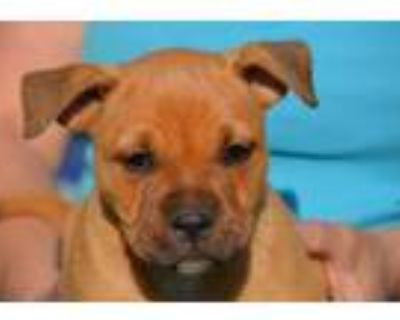 Adopt Rhea a Tan/Yellow/Fawn Boxer / Mixed dog in Chester Springs, PA (31675145)