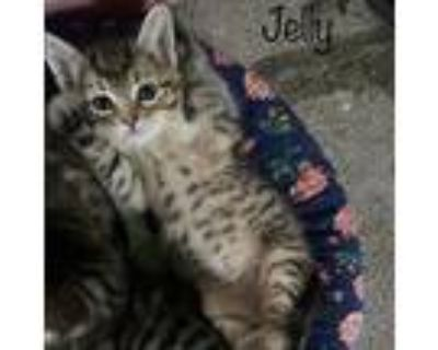 Jelly, Domestic Shorthair For Adoption In West Des Moines, Iowa
