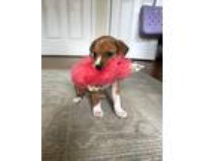 Adopt Pique Dame a Brown/Chocolate - with White Labrador Retriever / Husky dog