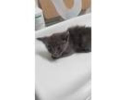 Adopt *STORMIE a Gray or Blue Domestic Shorthair / Mixed (short coat) cat in