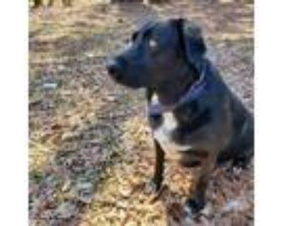 Adopt Josie a Black Labrador Retriever
