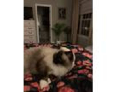 Adopt Akasha a Cream or Ivory (Mostly) Ragdoll / Mixed (medium coat) cat in