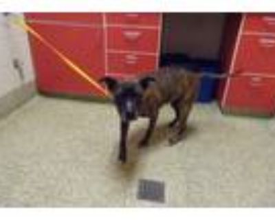 Adopt PEANUT BUTTER FUDGE a Pit Bull Terrier, Mixed Breed