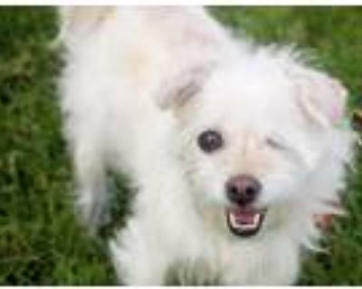 Adopt Marilyn Monroe a White Terrier (Unknown Type, Small) / Lhasa Apso / Mixed