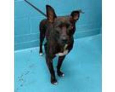 Adopt CLIFF a Black Labrador Retriever / Mixed dog in San Antonio, TX (31979104)