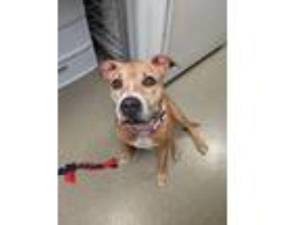 Adopt Brynn a American Pit Bull Terrier / Mixed dog in Birdsboro, PA (31207828)