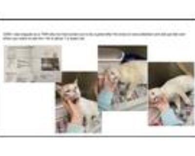 Adopt Peanut a Siamese cat in Denver, CO (32013316)