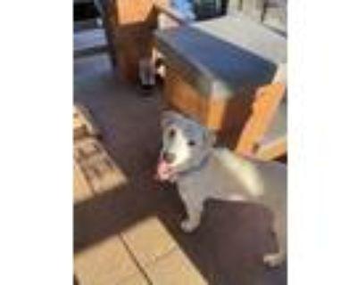 Adopt Nala a White Labrador Retriever / Mixed dog in Oakland, CA (32059002)