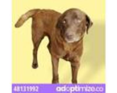 Adopt 48131992 a Brown/Chocolate Labrador Retriever / Mixed dog in El Paso