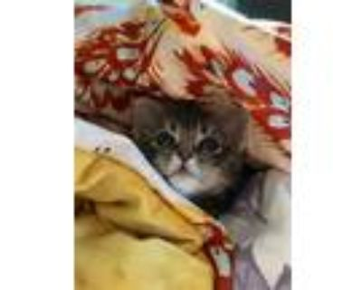 Adopt Piper a Gray, Blue or Silver Tabby Domestic Shorthair (short coat) cat in