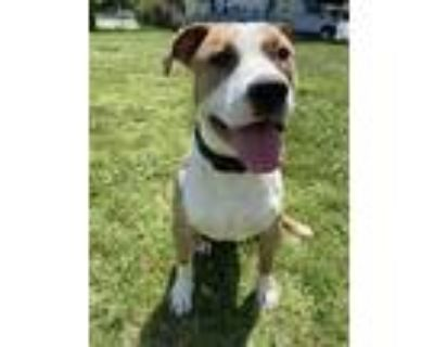 Adopt Beefy Bunny Boy a American Pit Bull Terrier / Mixed dog in Richmond
