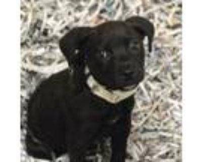 Adopt Friday a Labrador Retriever, Mixed Breed