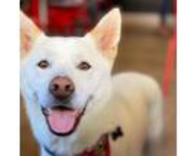 Adopt Oliver IN LA!!! a White - with Tan, Yellow or Fawn Jindo / Spitz (Unknown
