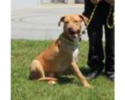 Adopt RAP KITTEN a Brown/Chocolate American Pit Bull Terrier / Mixed dog in