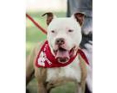 Adopt River a Staffordshire Bull Terrier