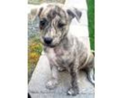 Adopt Scout a Brindle - with White Australian Cattle Dog / Pit Bull Terrier /