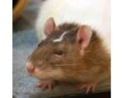 Adopt Wellie a White Rat / Mixed small animal in Ann Arbor, MI (31163961)