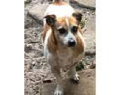 Adopt Buddy a Jack Russell Terrier, Dachshund