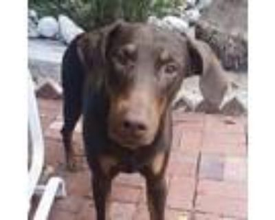 Adopt Buddy a Red/Golden/Orange/Chestnut Doberman Pinscher / Mixed dog in
