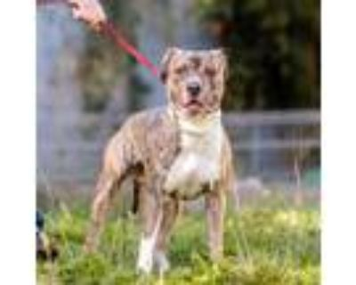 Adopt Kobe a Brindle - with White American Pit Bull Terrier / Mixed dog in