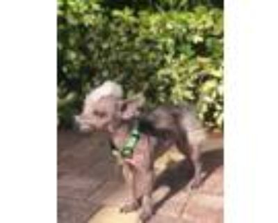 Adopt Buttercup a White Chinese Crested / Mixed dog in Cape Coral, FL (31538864)