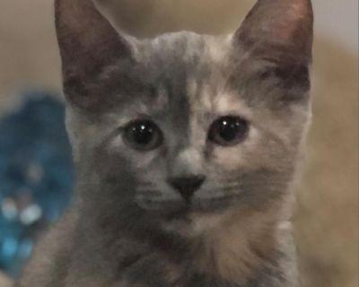 Ruby Richards - Domestic Shorthair - Kitten Female
