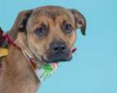 Adopt QUEENIE a Tan/Yellow/Fawn - with Black German Shepherd Dog / Mixed dog in