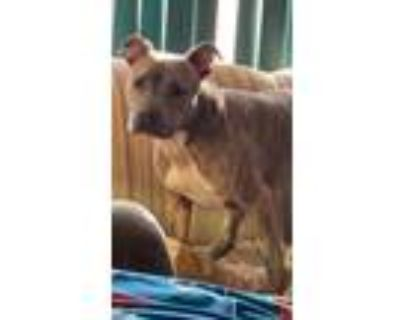 Adopt Blue a Brindle American Pit Bull Terrier / Mixed dog in Randolph