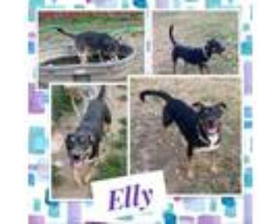 Adopt Elly a Black German Shepherd Dog / Mixed dog in El Dorado, KS (31370976)