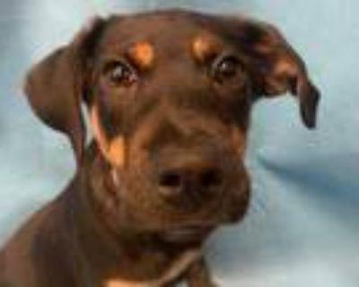 Adopt Loki a Black Labrador Retriever / Black Mouth Cur / Mixed dog in Golden