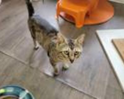 Adopt Captain Marble a Brown or Chocolate Domestic Shorthair / Mixed cat in