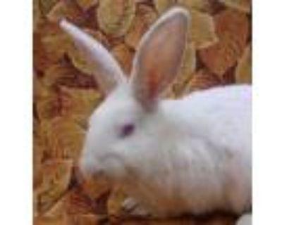 Adopt OLWEN a White Dwarf Hotot / Mixed rabbit in Goleta, CA (30021809)