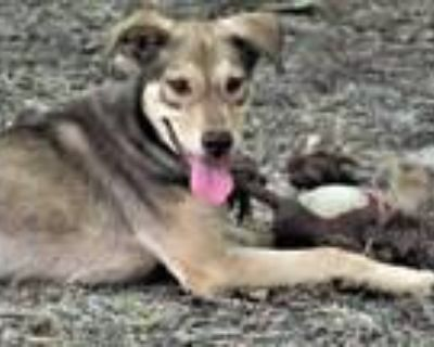 Adopt Yote a Brown/Chocolate - with Tan Catahoula Leopard Dog / Terrier (Unknown