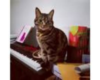 Adopt Hallie a Tan or Fawn Tabby American Shorthair / Mixed (short coat) cat in