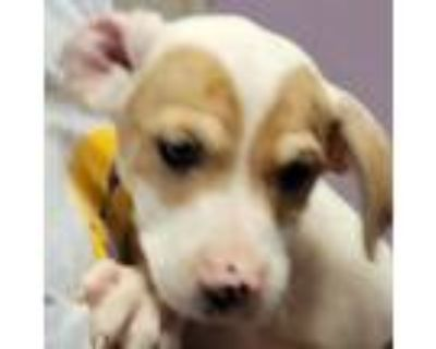 Adopt Joey a Brown/Chocolate Hound (Unknown Type) / Pit Bull Terrier / Mixed dog