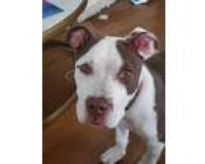 Adopt Cartier a White - with Brown or Chocolate American Staffordshire Terrier /