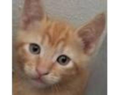 Parsley, Domestic Shorthair For Adoption In Pleasanton, California