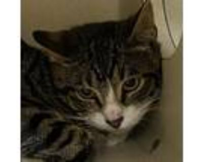 Adopt Ralph a Gray or Blue Domestic Shorthair / Mixed cat in Blasdell