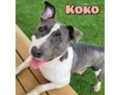 Adopt KOKO a Gray/Silver/Salt & Pepper - with Black American Pit Bull Terrier /