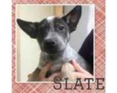 Adopt Slate a Cattle Dog / Mixed dog in Claremore, OK (32053357)