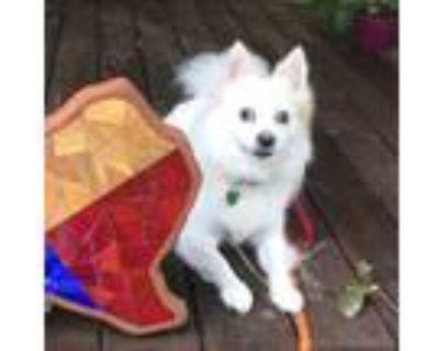 Adopt Diesel a American Eskimo Dog, Pomeranian