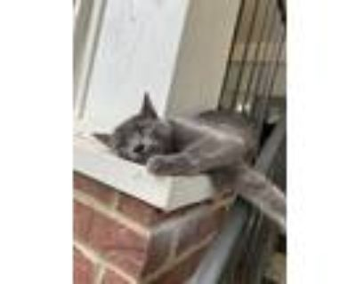 Adopt Baby Kitty a Gray or Blue Russian Blue / Mixed (medium coat) cat in