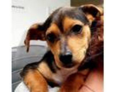 Adopt Irving a Black Beagle / Miniature Pinscher dog in Long Beach