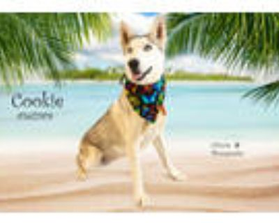 Adopt Dog a White - with Gray or Silver Husky / Mixed dog in Thousand Palms