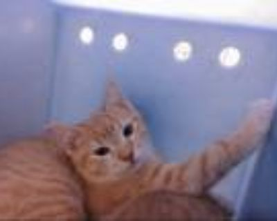 Adopt MAY a Orange or Red Tabby Domestic Shorthair / Mixed (short coat) cat in