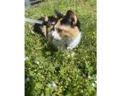 Adopt Reese a Calico or Dilute Calico American Shorthair / Mixed (medium coat)