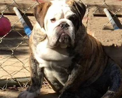 Brindle White English Bulldog Puppy Lost on Union Church Road $3000 R (Flowery Branch)  hide this po