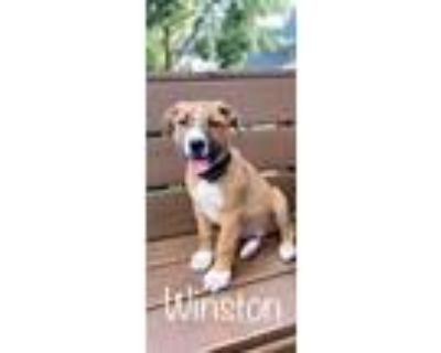 Adopt Winston a American Pit Bull Terrier / Mixed dog in Germantown