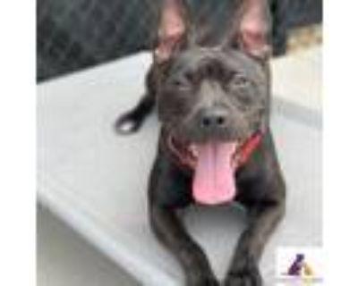 Adopt Sylvia a Pit Bull Terrier, Mixed Breed