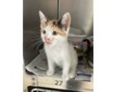 Adopt Pita a Calico or Dilute Calico Domestic Shorthair (short coat) cat in